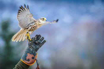 Urban Hawks Bird Control