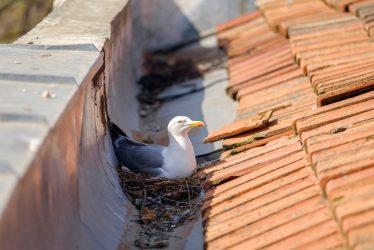 Urban Hawks Nesting Birds